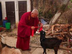 Lama Zopa Rinpoche blesses a rescued goat, Maratika, Nepal, February 2016. Photo: Holly Ansett.
